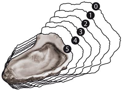 calibrage des huitres creuses